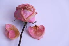 Rosa murcha Fotografia de Stock