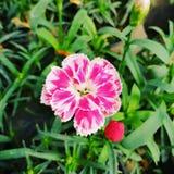 Rosa mycket liten blomma royaltyfria foton