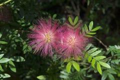 Rosa myrtaceaeblomma i trädgården Arkivfoto