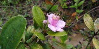 Rosa myrten royaltyfri fotografi