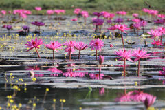 Rosa näckrors på ett damm Royaltyfria Bilder