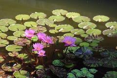 Rosa näckrors på Pattaya Thailand Fotografering för Bildbyråer
