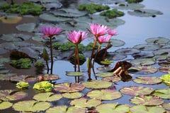Rosa näckrors på Pattaya Thailand Arkivfoton