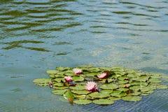 Rosa näckrors som svävar på ett krusigt vatten Royaltyfri Foto