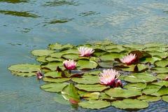 Rosa näckrors som svävar på ett krusigt vatten Arkivfoto