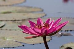 rosa näckros Royaltyfria Bilder