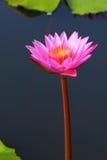 rosa näckros Royaltyfri Foto