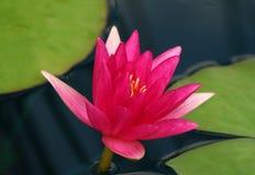 Rosa näckros Royaltyfri Fotografi