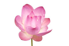 Rosa näckros Royaltyfria Foton