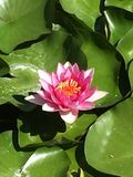 rosa näckros Fotografering för Bildbyråer
