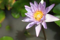 Rosa näckros- eller lotusblommablomma på ett pund Arkivfoton