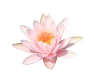 Rosa näckros på vit bakgrund, rosa lotusblomma Royaltyfria Bilder