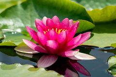 Rosa näckros som blommar i en sjö med refelctions i vatten arkivfoto