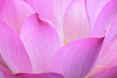 Rosa näckrosbakgrund, modell, abstrakt begrepp Arkivfoton