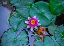 Rosa näckrosblomma som blommar i dammet med orange koisimning arkivbilder