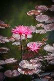 Rosa näckroslodlinjeNymphaeaceae Royaltyfria Bilder