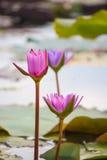 Rosa näckrosNymphaea Masaniello bland gröna sidor Royaltyfria Bilder