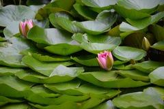 Rosa näckrosor Arkivfoto