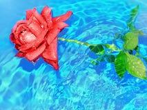 Rosa na água Foto de Stock Royalty Free