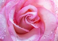 Rosa na água da gota Imagens de Stock Royalty Free