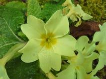 Rosa na Żółtym pierwiosnku Fotografia Stock
