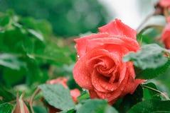 Rosa na chuva Fotos de Stock Royalty Free