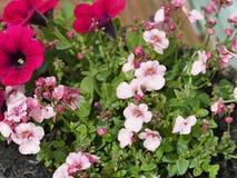 Rosa na flor Imagem de Stock