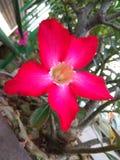 Rosa na flor Imagens de Stock
