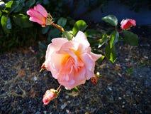 Rosa na flor cor-de-rosa fotografia de stock