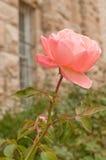 Rosa na frente da pilha Imagens de Stock