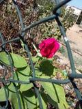 Rosa na gaiola Imagem de Stock