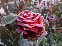 Rosa na geada Fotografia de Stock