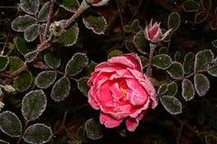 Rosa na geada Imagens de Stock