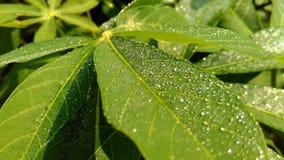 Rosa na kasawa liściach zdjęcie royalty free