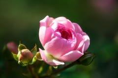 Rosa na luz da manhã Foto de Stock
