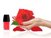 Rosa na mulher han, no verniz para as unhas vermelho e nas pétalas isolados no branco Fotos de Stock