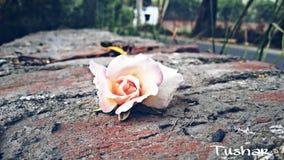 Rosa na pedra Fotografia de Stock Royalty Free