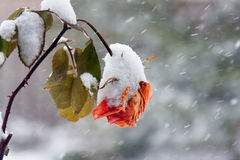 Rosa na queda de neve Fotos de Stock Royalty Free