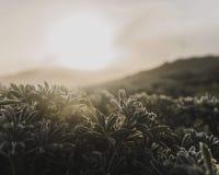 Rosa na roślinach przy wschód słońca zdjęcia royalty free