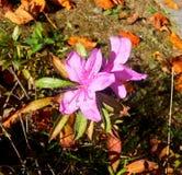 Rosa na terra Imagens de Stock