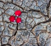 Rosa na terra seca Fotos de Stock Royalty Free