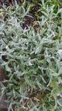 Rosa na zielonych liściach Zdjęcie Stock