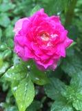 Rosa nana immagine stock