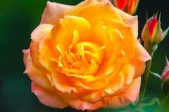 Rosa naranja-amarilla hermosa en un fondo verde Foto de archivo