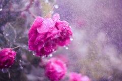 Rosa nas gotas da chuva Imagem de Stock