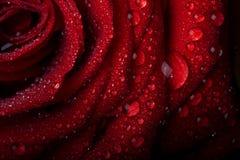 Rosa nas gotas de orvalho no preto. Fotos de Stock