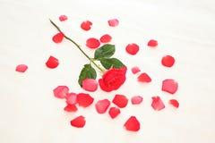 Rosa nas pétalas Foto de Stock Royalty Free