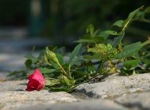 Rosa nas rochas Imagens de Stock