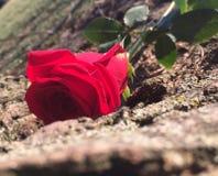 Rosa nascondentesi Fotografia Stock