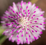 Rosa nativo occidental de la macro del mulla del mulla del wildflower de Australia Foto de archivo